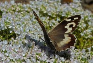 бабочка Дева