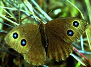бабочка Козерог