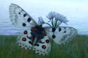 бабочка Лев