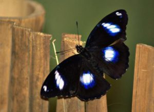 бабочка Рак
