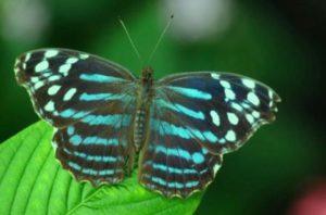 бабочка Рыбы