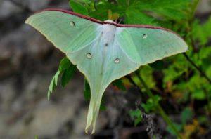 бабочка Стрелец