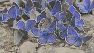 4499203_бабочка телец